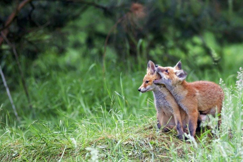 media/image/foxes-in-the-wild-PVPJXKL.jpg